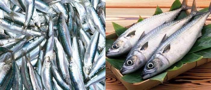 Cá thu - Cá trích là thực phẩm cho sĩ tử cực tốt