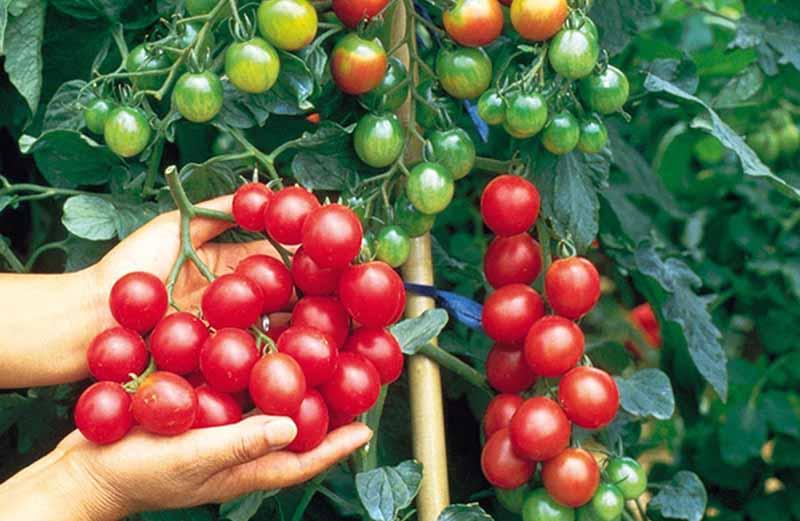 Cà chua được dùng để ăn sống hoặc làm gia vị trong các món ăn tăng cường trí nhớ