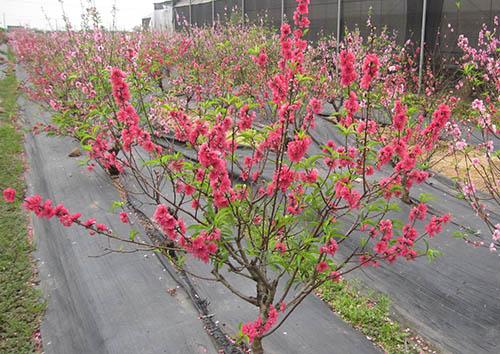 Hoa đào xuất hiện báo hiệu mùa xuân đến