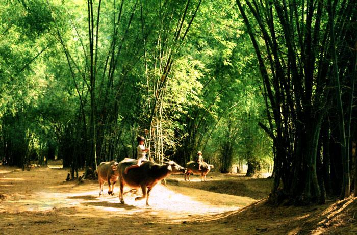 Tre là hình ảnh thân thuộc đối với làng quê Việt Nam